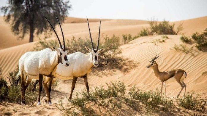 dubai-desert-conservation-reserve-1500x850__1_